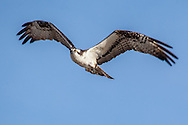 An osprey on the approach to its nest at Sesuit Harbor, East Dennis