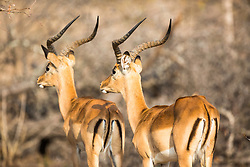 Two impalla bucks looking alert in Sabi Sands Game Reserve, in South Africa