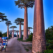 A tricycle passes baobab trees in the allée des baobabs (alley of baobabs) in the western coastal region of Madagascar. <br /> <br /> Madagascar is the world's forth largest island off the coast of east Africa.