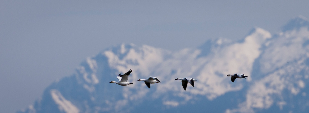 Snow Geese (Anser caerulenscens) fly in a line while wintering at Fir Island in the Skagit River delta near Puget Sound in western Washington state with Mount Baker in the background, USA.