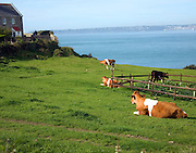 Guernsey cattle Island of Herm, Channel Islands, Great Britain