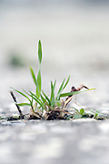 extreme close up of grass growing between the cracks in asphalt pavement