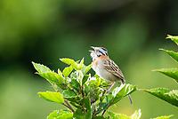 Rufous-collared Sparrow, Zonotrichia capensis, singing. Monteverde, Costa Rica