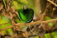 Magnificent Bird of Paradise (Cicinnurus regius) male at calling perch near his display court..Huon Peninsula, YUS Conservation Area, Morobe Province, Papua New Guinea.