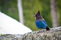 Steller's jays are aggressive feeders, and will feed on anything from plants (seeds, nuts, fruit), animals (invertebrates, baby birds, and some reptiles) During the non-breeding season, when not scavenging human habitation, they will scavenge seeds, cones and acorns.