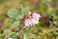Cowberry - Vaccinium vitis-idaea