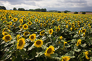 Sunflowers flourishing on land near Malle, Indre-et-Loire region, France. Sunflower plants are cultivated in Sunflower farms for their seeds. We look down from a high angle on the sea of yellow flowers prospering in summer sunshine and clouds suggest a landscape of growth and healthy crops. Refined Sunflower-seed oil is edible, sunflowers have 39 to 49% oil in the seed. Sunflower seed accounts for about 14% of the world production of seed oils (6.9 million metric tons in 1985-86) and about 7% of the oilcake and meal produced from oilseeds. Sunflower oil is generally considered a premium oil because of its light color, high level of unsaturated fatty acids and lack of linolenic acid, bland flavor and high smoke points.