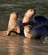 Alaska. Northern River Otters (Lontra canadensis) resting along the stream bank, Seward.