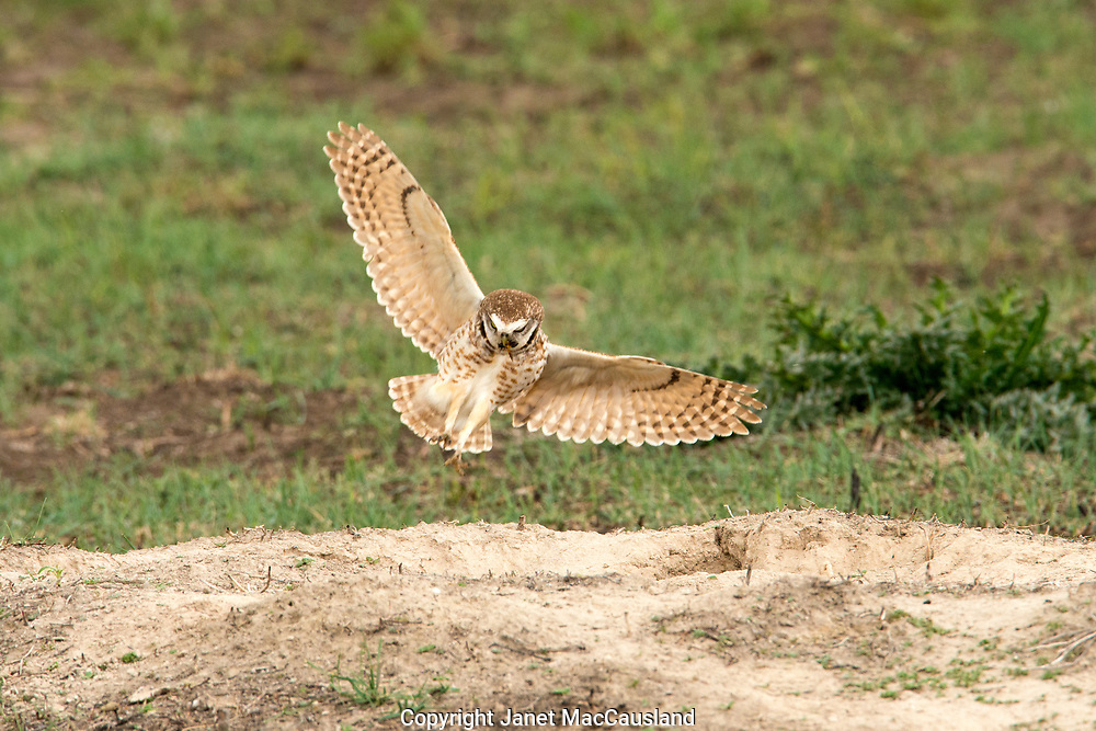 An adult burrowing owl flies onto the prairie dog hole in which his mate is brooding, in South Dakota. It is part of a breading population making its home in prairie dog city's abandoned holes. The little owl is bringing a beetle for his mate.