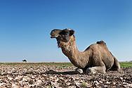 Dromedary at Erg Chagaga, Sahara desert, Morocco.