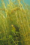 Black Bullhead perch in eurasian water milfoil<br /> <br /> ENGBRETSON UNDERWATER PHOTO