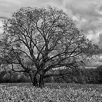 """""""Loner"""" B&W<br /> <br /> A wonderful black and white image of a lone tree during autumn. Standing in the middle of a harvested cornfield. Dark clouds loom overhead, giving this image depth and mood!!<br /> <br /> Black and White images by Rachel Cohen"""