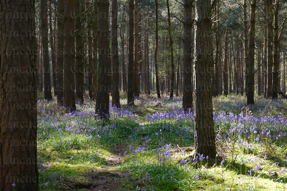 Bluebell wood, Blackheath Surrey, England in Spring. Photographed by Jayne Fincher