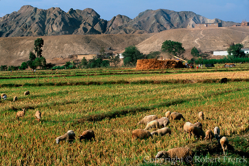 PERU, NORTH COAST, AGRICULTURE rice harvest and sheep in fields near Trujillo
