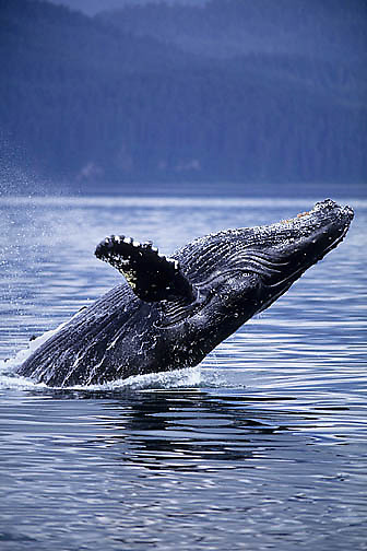 Humpback Whale, (Megaptera novaeangliae) Adult breaching in waters of Southeast Alaska.