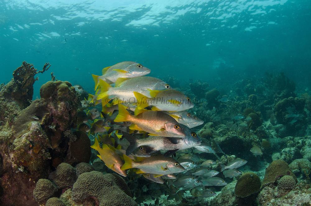 Schoolmaster (Lutjanus apodus) & Black Margate (Anisotremus surinamensis)<br /> Hol Chan Marine Reserve<br /> near Ambergris Caye and Caye Caulker<br /> Belize<br /> Central America