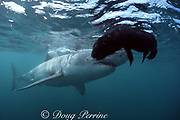 great white shark, Carcharodon carcharias, approaches the floating carcass of a fur seal pup, near Dyer Island, off Gansbaai, South Africa ( Indian Ocean )