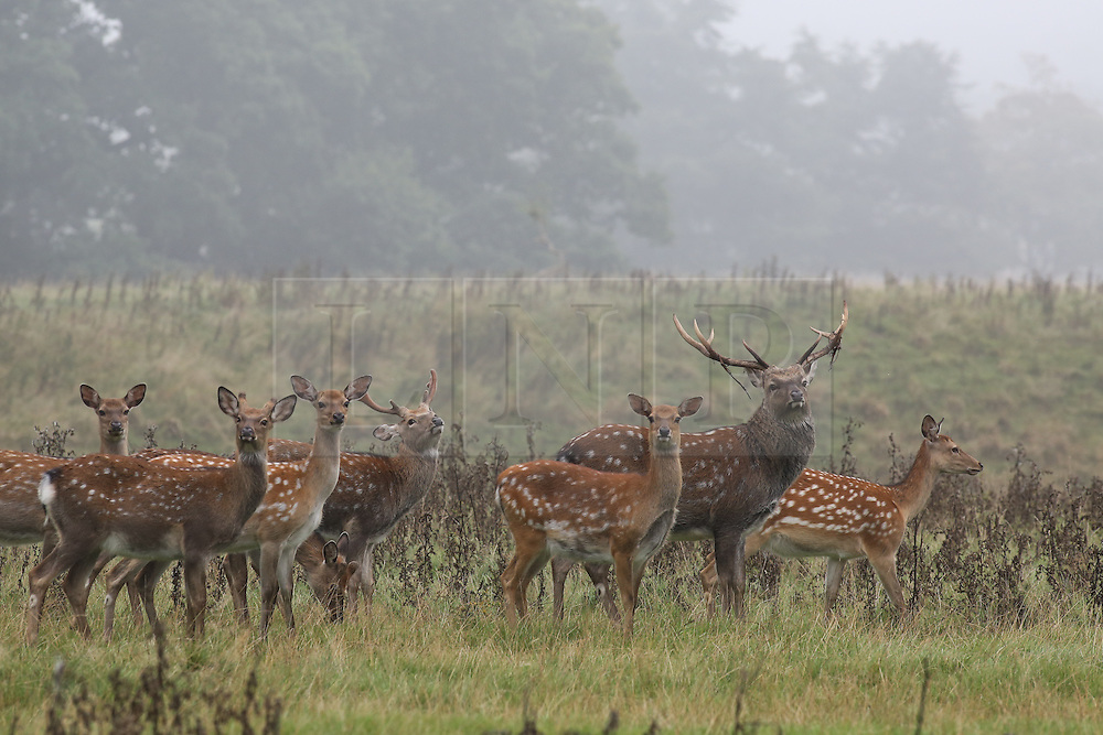 © Licensed to London News Pictures. 15/09/2016. Ripon, UK. © Licensed to London News Pictures. Sika deer in the early morning fog of a hot autumn day at Studley Royal deer park at Fountains Abbey near Ripon in North Yorkshire. Photo credit : Ian Hinchliffe/LNP