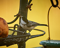 Black-capped Chickadee. Image taken with a Nikon D5 camera and 600 mm f/4 VR lens (ISO 1600, 600 mm, f/5.6, 1/800 sec).