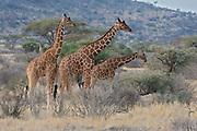 Reticulated giraffs (Giraffa camelopardalis reticulata) in Samburu National Reserve, Kenya.