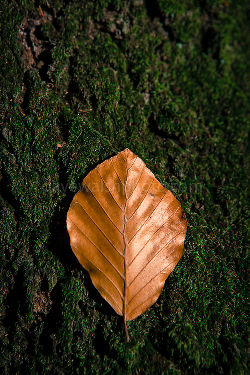 Autumn beech leaf, Automne feuilles de hêtre.  La forêt domaniale de Silly - forest in Silly, Belgium