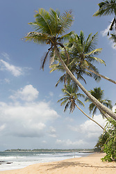 Palm trees on the beach, Tangalle, South Province, Sri Lanka