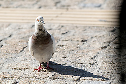 13 April 2016: Dove by the shore at the port in Samos, Greece.