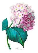 19th-century hand painted Engraving illustration of a cluster of flowering hydrangea or hortensia, by Pierre-Joseph Redoute. Published in Choix Des Plus Belles Fleurs, Paris (1827). by Redouté, Pierre Joseph, 1759-1840.; Chapuis, Jean Baptiste.; Ernest Panckoucke.; Langois, Dr.; Bessin, R.; Victor, fl. ca. 1820-1850.