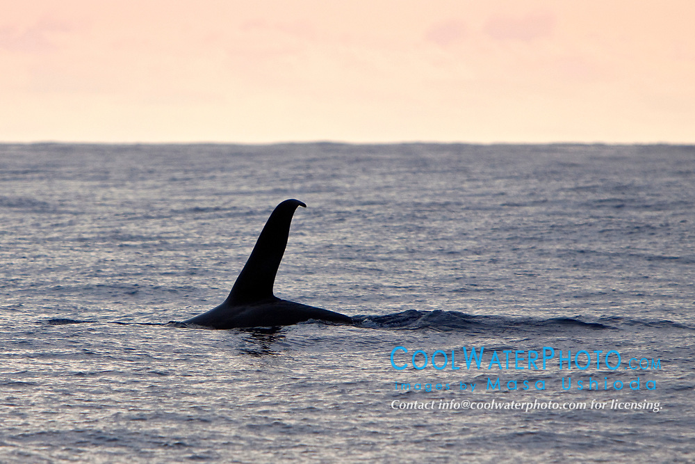 transient orca or killer whale, Orcinus orca, male dorsal fin - killer whale sightings in Hawaiian waters are extremely rare, Kona Coast, Big Island, Hawaii, Pacific Ocean