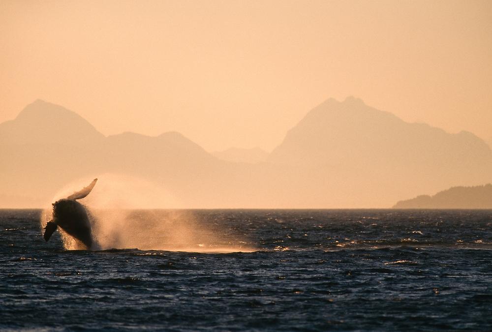 Alaska. Glacier Bay National Park,. Icy Strait. Humpback whale (Megaptera novaeangliae)<br /> breaching, Fairweather Range in background.