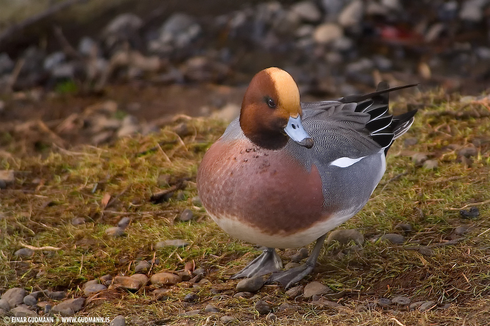 These images are taken at Myvatn in Iceland. The Wigeon is a bird of open wetlands, such as wet grassland or marshes with some taller vegetation, and usually feeds by dabbling for plant food or grazing, which it does very readily.