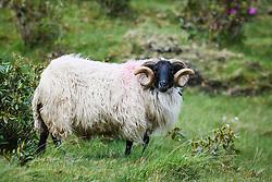 Blackface sheep ram, Leenaun, County Galway, Ireland