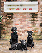 Three black dogs from Houston visit under Ford truck tailgate