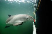 Harbour porpoise Phocoena Phocoena Fjord & Baelt - Auf dem zweiten Bild macht Eigil (unser Männchen) gerade einen Hörtest. Der Schweinswal positioniert sich mit seinem Rostrum auf der roten Acryl platte um eine fixe Position einzunehmen. Von einem Hydrophone (das nicht auf dem Bild ist) wird ihm ein künstlicher amplituden-variierender kontinuierlicher Ton einer bestimmten Frequenz vorgespielt. Mit den EEG-Elektroden über dem Gehirn und auf dem Rücken können wir die Gehirnaktivität im Hörzentrum in Abhängigkeit des künstlichen Tons verfolgen. Das kleine Hydrphone im Bild nimmt die Clicklaute des Wales auf um sie für uns hörbar zu machen und um die Cklicklaute zu analysieren. Es kann sein, dass sich die Clicklaute in Lautstärke und Wiederholungsrate ändern in Abhängigkeit des Tones den wir vorspielen. Und genauso kann sich die Gehöraktivität verändern.
