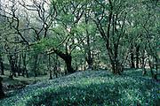 Oak Woodland, Dinas Reserve, bluebells carpeting floor, spring leaves just growing