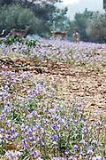 Israel, Barbary Nut Gynandriris sisyrinchium