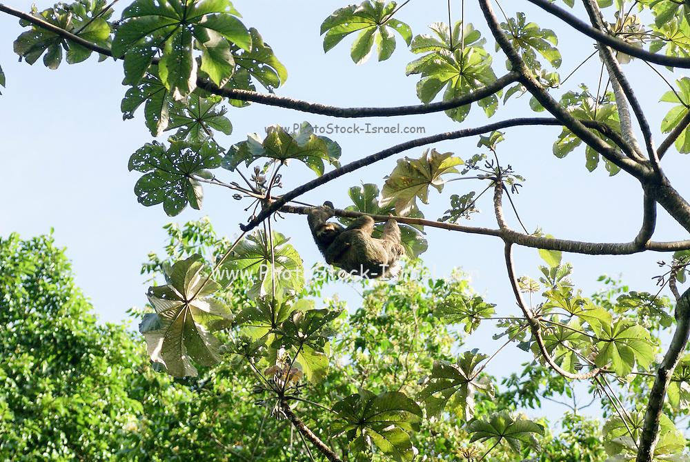 Brown-throated Three-toed Sloth (Bradypus variegatus), at the Manuel Antonio National Park, (Parque Nacional Manuel Antonio), Costa Rica