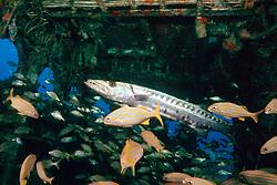 great barracuda, Sphyraena barracuda, .and smallmouth grunts, Haemulon .chrysargyreum, in superstructure of the .USCG Duane wreck, Key Largo, Florida.