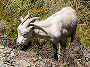 Invasive wild goat in Ben Lomond Scenic Reserve, above Queenstown, reached via Skyline Queenstown gondola or a hiking trail, in the Otago region, South Island of New Zealand. Almost without exception, introduced species have been detrimental to the native flora and fauna of New Zealand.