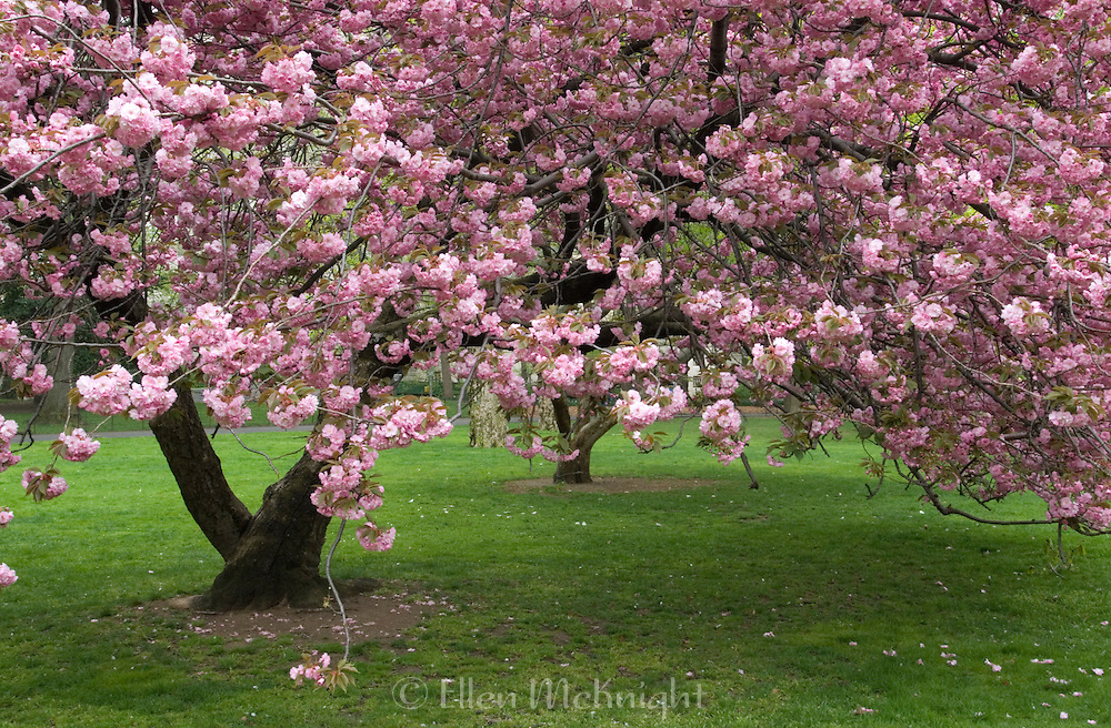 Cherry Blossoms in Central Park, New York