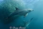bottlenose dolphins ( Tursiops truncatus ) prey on baitball of sardines or pilchards ( Sardinops sagax ) during annual Sardine Run off the east coast of South Africa at Mboyti on the Wild Coast or Transkei ( Indian Ocean )