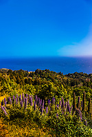 Lupine (flowering plants), Ventana Big Sur resort, Big Sur, California USA.