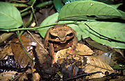 A frog sits on the floor of primary forest at the foothill of Mount Kinabalu called Mohan Tuhan.