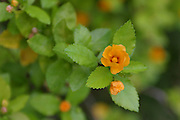 Ilima Flower, Hawaii<br />
