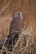 Swainson Hawk, Buteo swainsoni, in grassland, Colorado