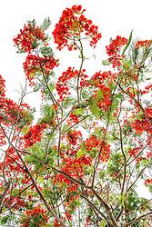 Royal Poinciana Tree Delonix Regia #20