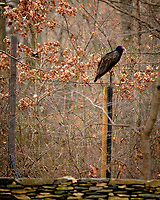 Turkey Vulture on a Post across the Street. Image taken with a Fuji X-T3 camera and 200 mm f/2 OIS telephoto lens (ISO 400, 200 mm, f/2, 1/250 sec).