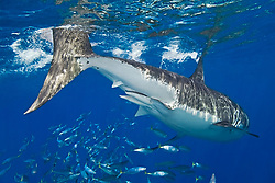 great white shark, showing a pair of claspers - sperm transfer organs of a male shark, Carcharodon carcharias, with schooling mackerel scad, Decapterus macarellus, off Guadalupe Island, Mexico, East Pacific Ocean