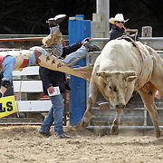 Jono Reed from Culverden in action during the Open Bull Ride competition at the Southland Rodeo, Invercargill,  New Zealand. 29th January 2012