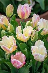 Tulipa 'Weber's Parrot'